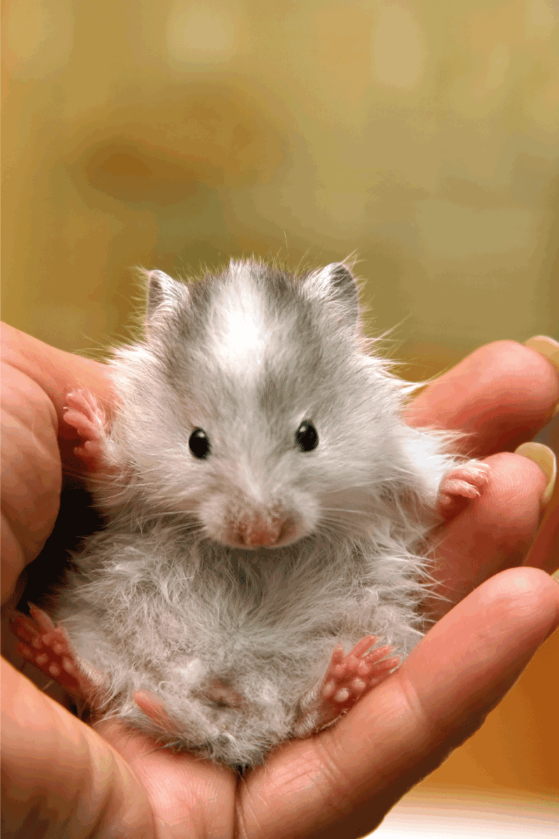small hamster, gray color, held by a man