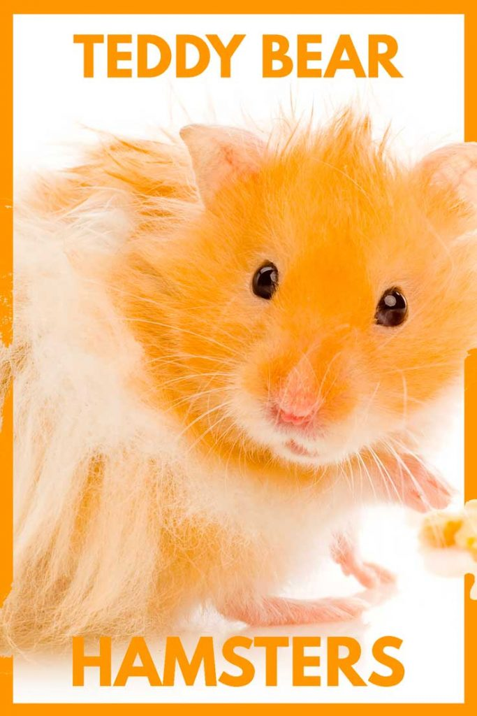 Adorable orange and white hamster against a plain white background