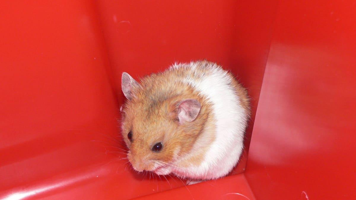 Hamster inside a really tight spot