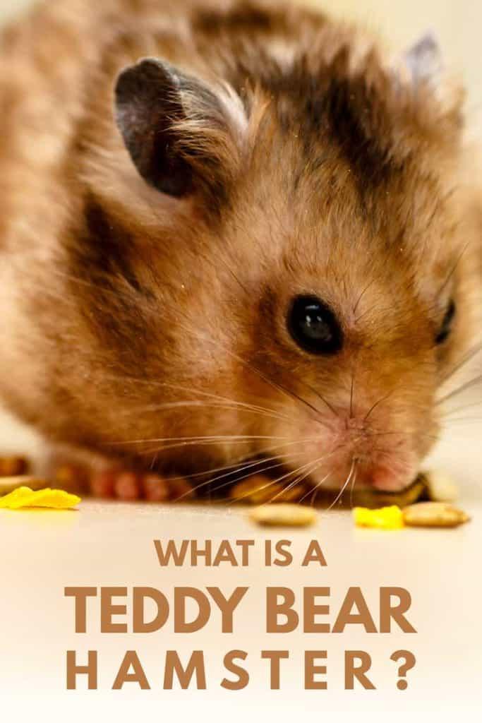 Adorable Teddy Bear Hamster eating its food