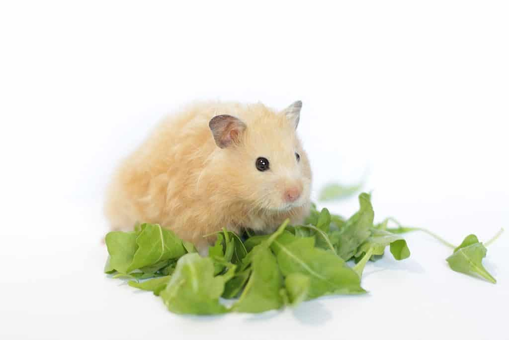 a cream-colored long-hair pet Syrian hamster