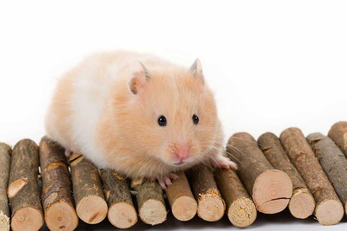 Cute teddy bear hamster on top of wooden logs