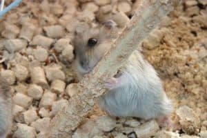 Read more about the article 9 Best Hamster Chews Your Hammy Needs in 2021