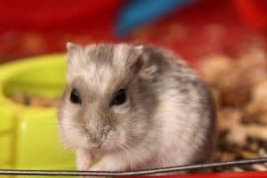 Read more about the article Do Hamsters Get Periods?