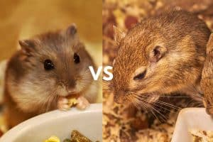 Hamsters vs. Gerbils Which is the Best Pet for You