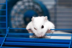 Cute white hamster climbing out of its cage