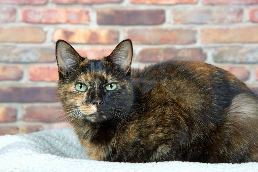 Tortoiseshell Tortie cat laying on sheepskin bed by brick wall looking directly at viewer. Tortoiseshell cats with the tabby pattern as one of their colors are sometimes referred to as a torbie.