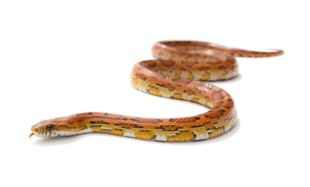 Isolated snake