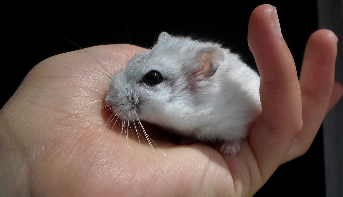 Cute hamster in the hand of a person