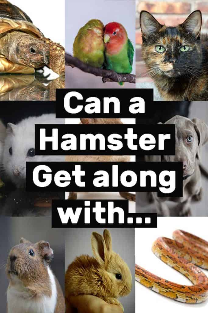 Can a Hamster Get Along with…
