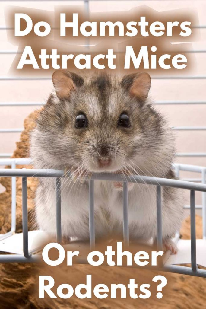 Do Hamsters Attract Mice or Other Rodents?