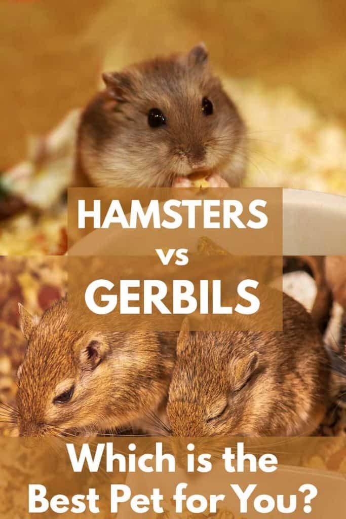 Hamsters vs  Gerbils: Which is the Best Pet for You