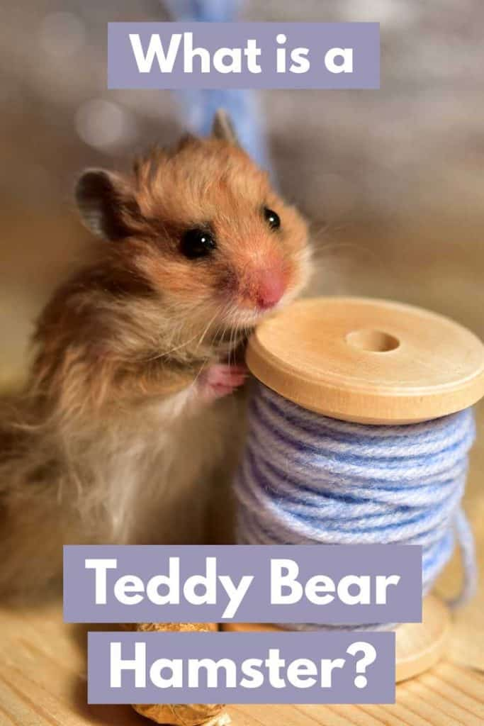 Adorable Teddy Bear Hamster playing with a roll of yarn