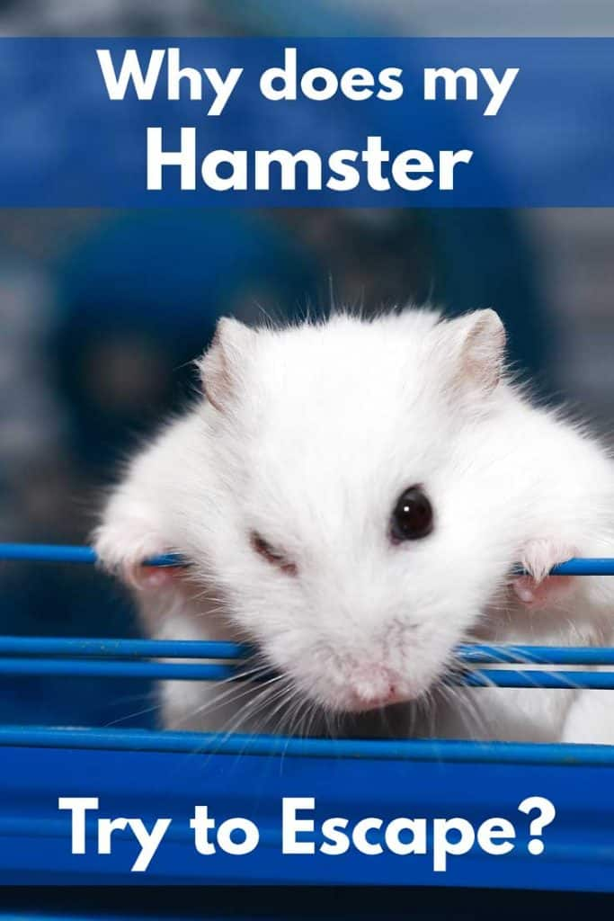 Cute white hamster climbing out of its cage, Why Does my Hamster Try to Escape?