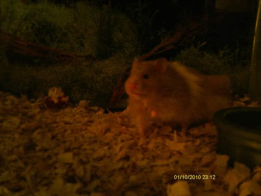 A Teddy Bear Hamster named Poof | Photo by Slayers-Raynna