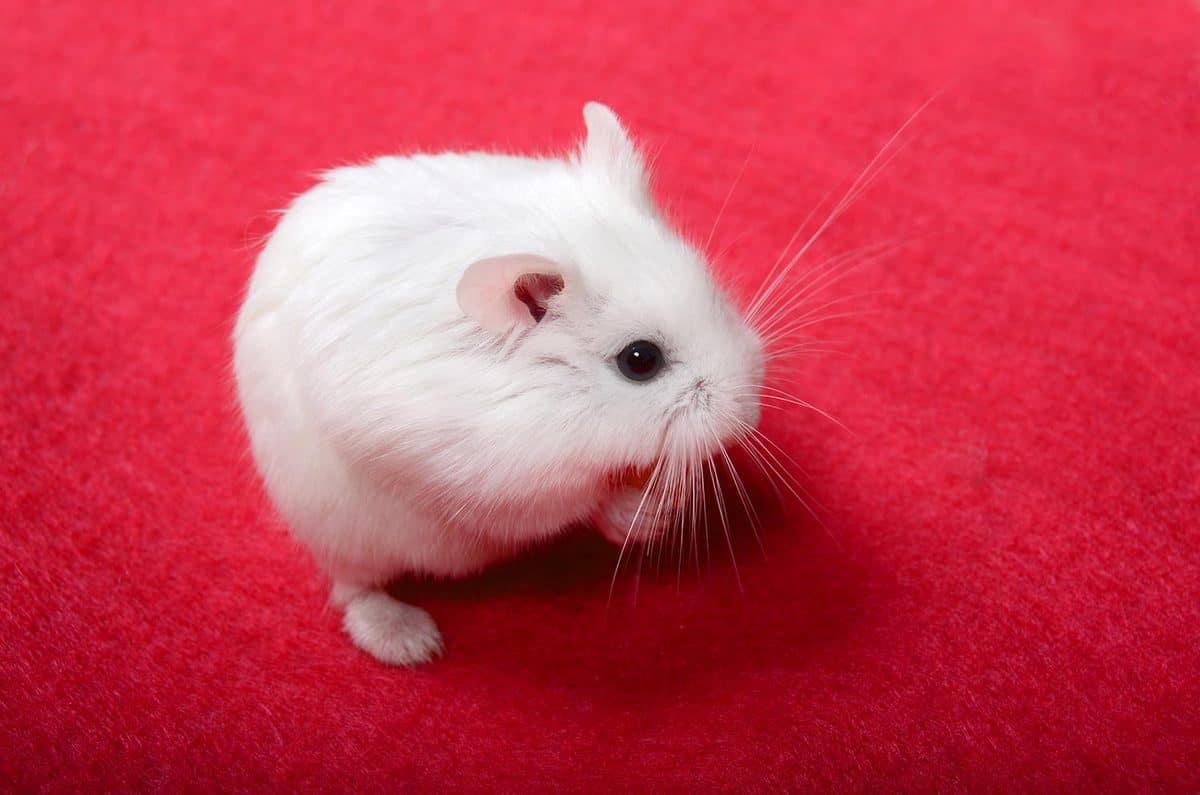 White Roborovski dwarf hamster