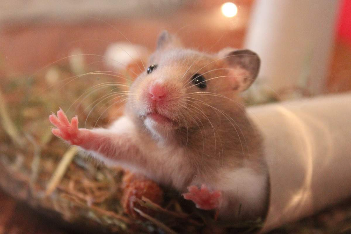 Hamster leaning at glass cage