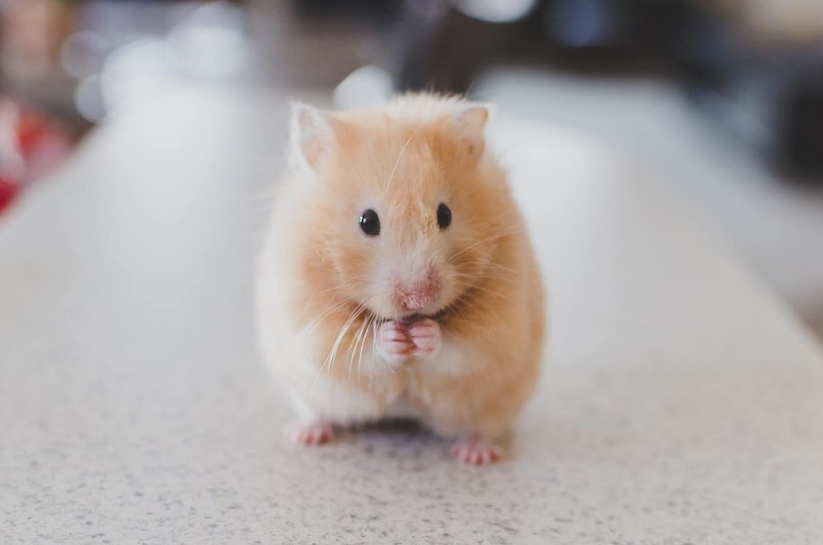 Front view of a cute little hamster