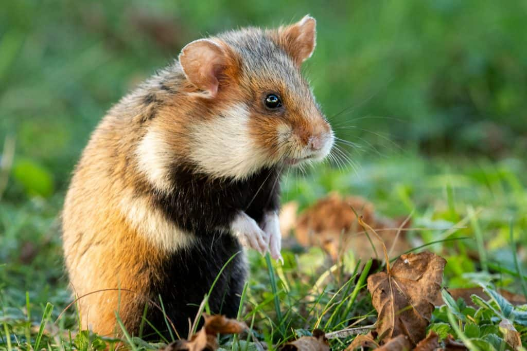 A European hamster standing on the grass meadow