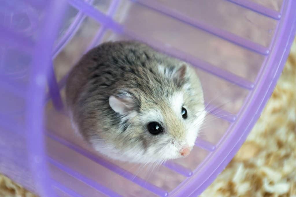 A Roborovski hamster sitting in his purple running wheel