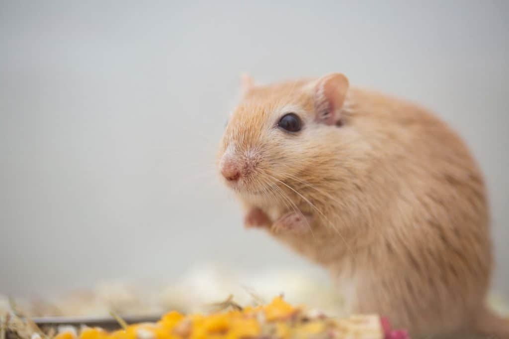 A cute Mongolian Gerbil standing on the wooden shavings