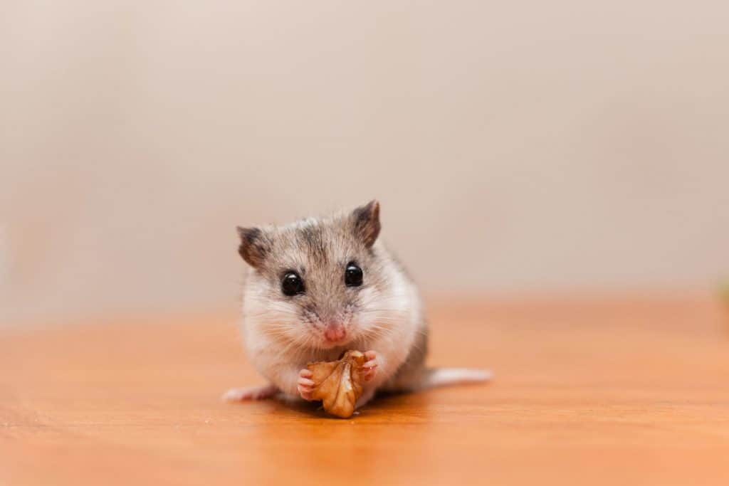 A small Chinese Hamster eating a small nut on top of the table
