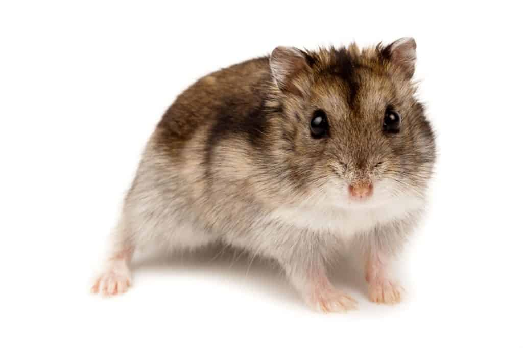 A white Russian Dwarf hamster on a white background