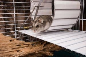 Can Hamsters Jump and Climb