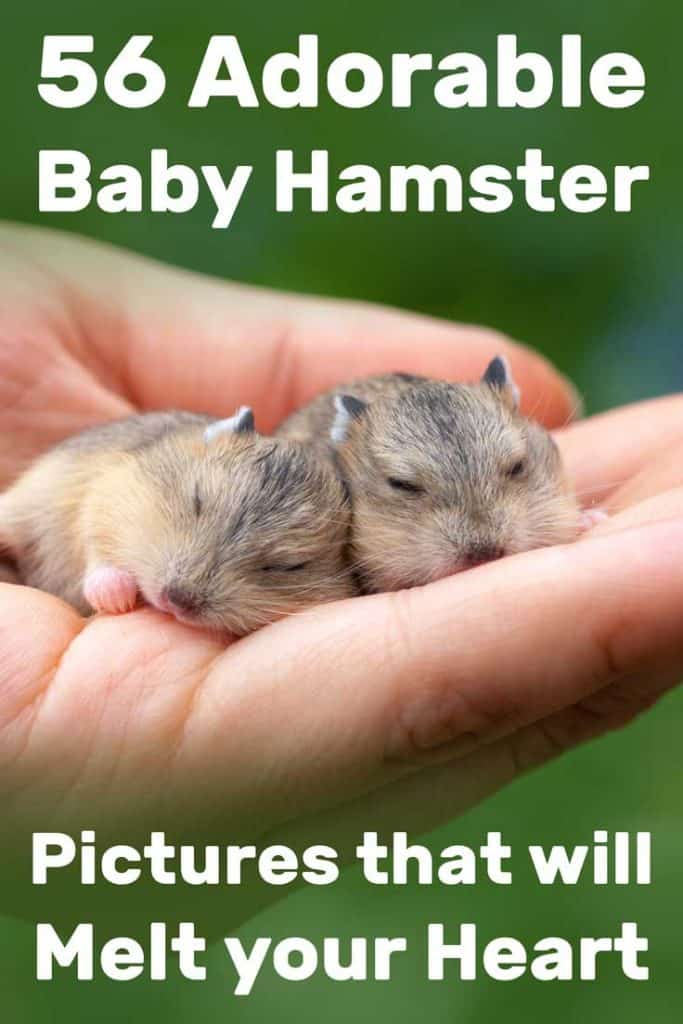 56 Adorable Baby Hamster Pictures That Will Melt Your Heart