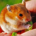 21 Adorable Orange and White Hamsters (Picture Post!)