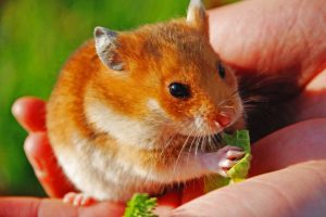 21 Adorable Orange and White Hamsters