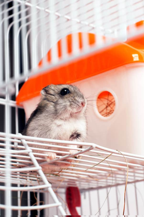 Dwarf hamster in Wire Cage - One of the 5 types of hamster cages