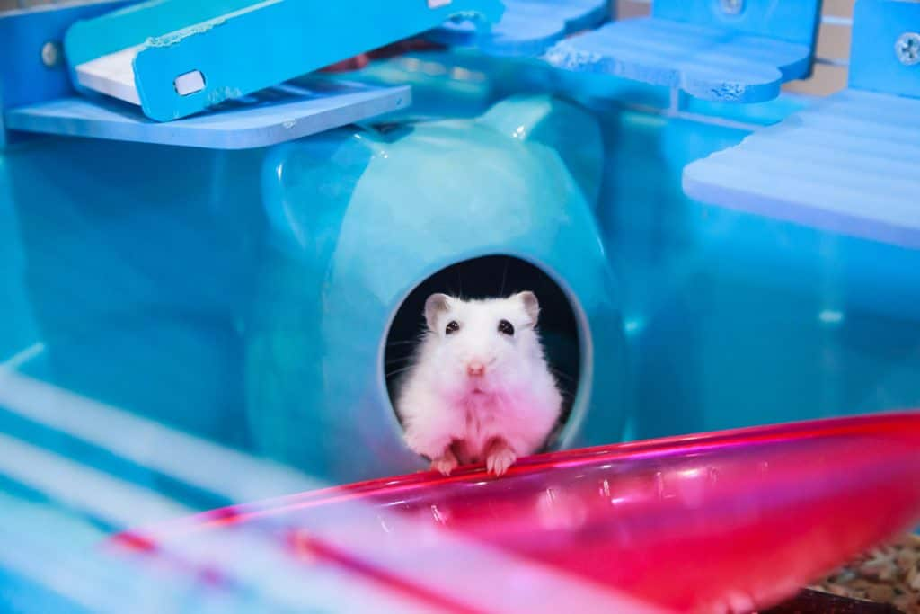 A Winter White Dwarf Hamster peeping out of his cage waiting for food