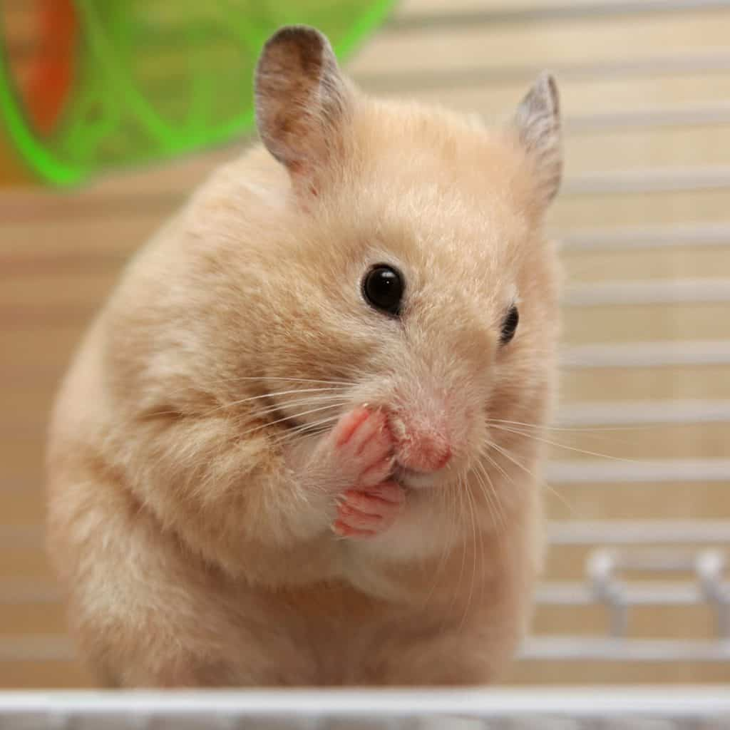 A cream hamster chewing his foot due to irritation