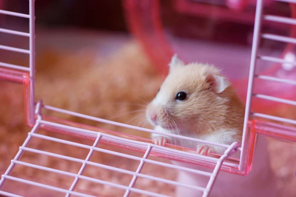 A cute hamster climbing the opening of his cage