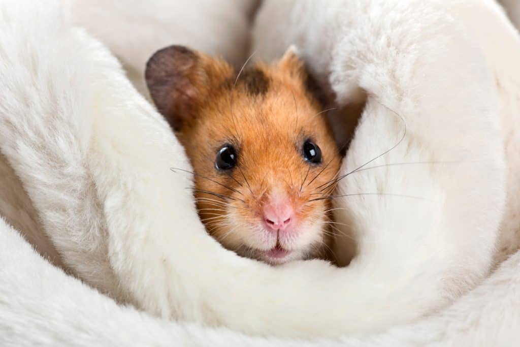 A cute hamster cuddling on his white blanket
