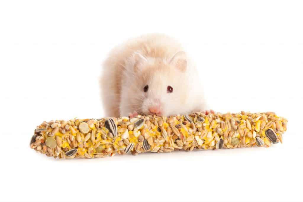A cute white Jungar little hamster eating a piece of carrot