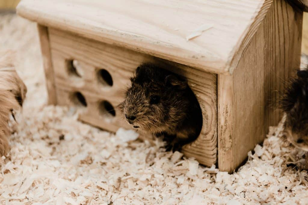 A cute hamster peeping out of his wooden house