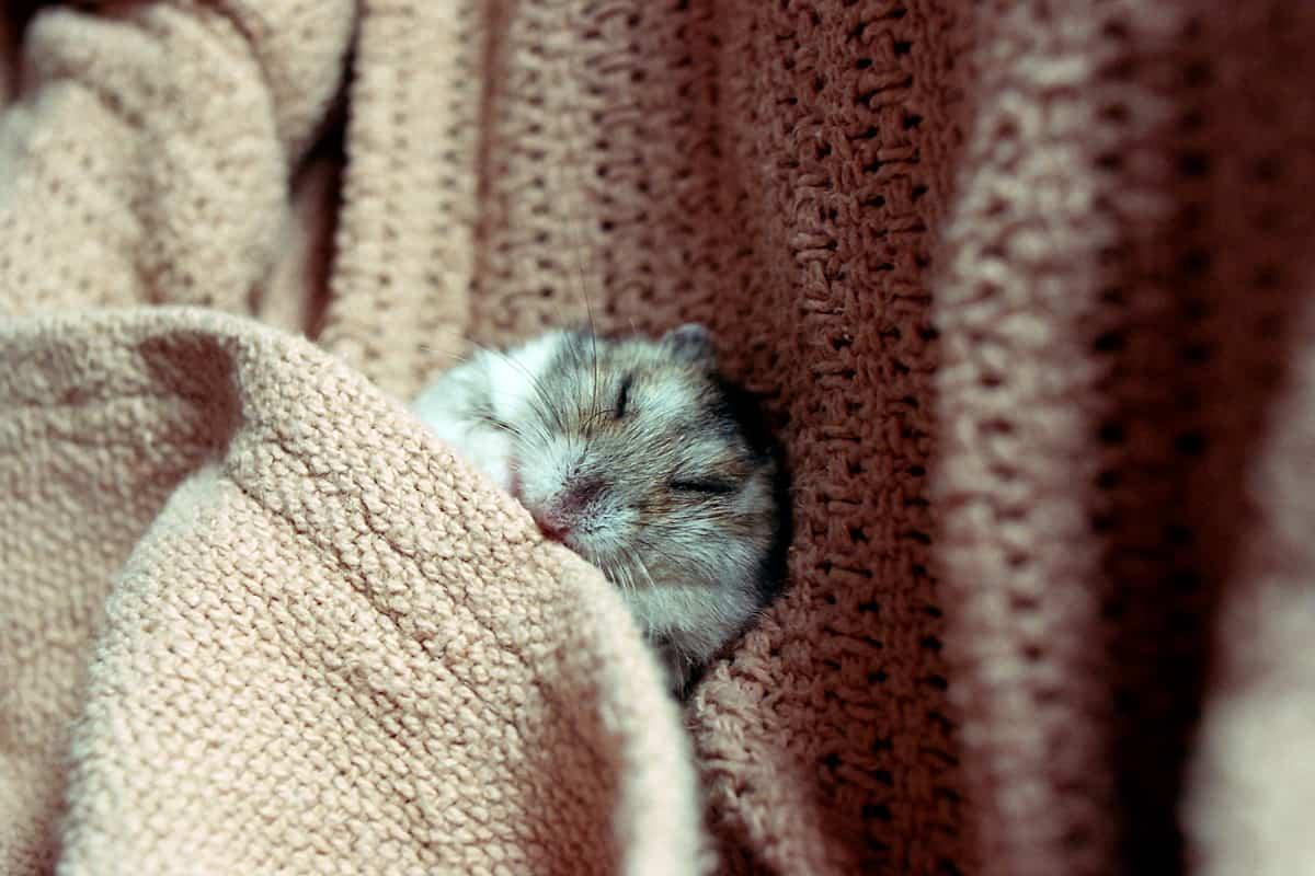 A cute hamster sleeping in a brown blanket