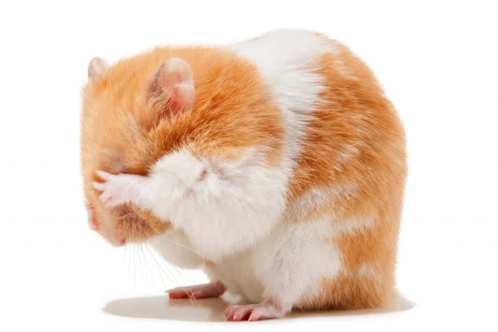 A cute Syrian hamster scratching his eyes due to irritation