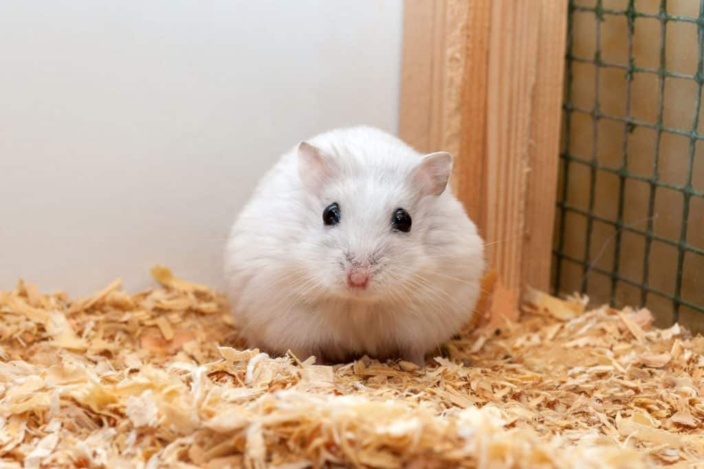 A cute dwarf hamster sitting on the side of his cage