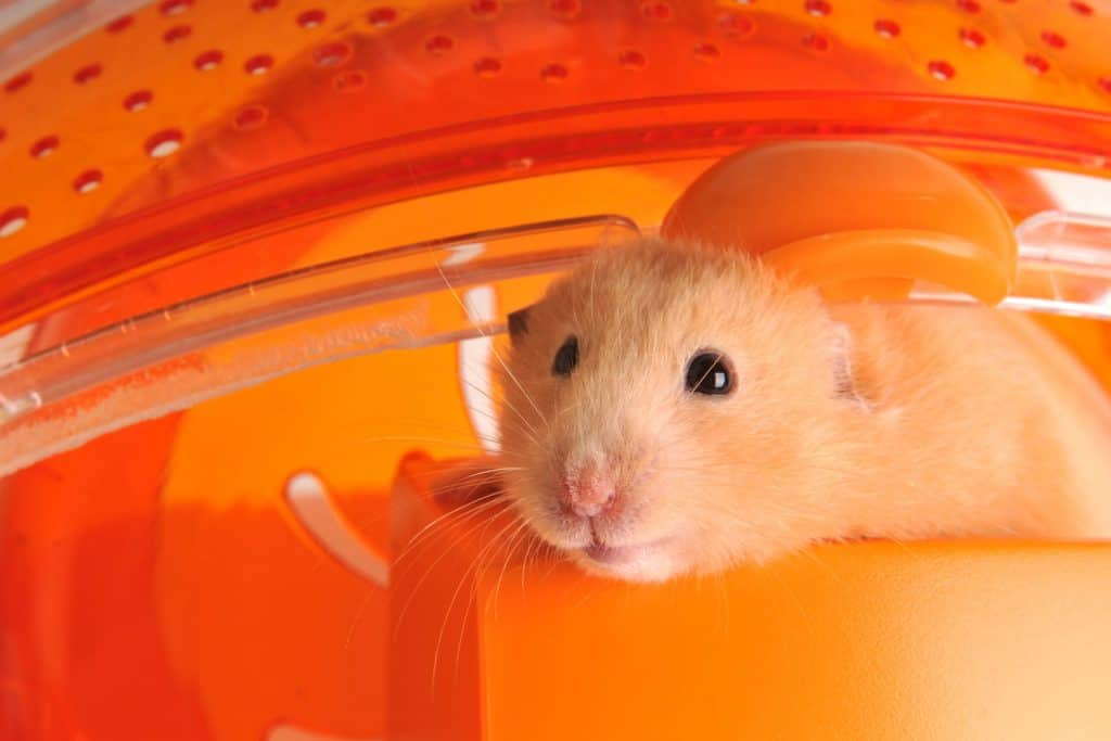 A golden Syrian hamster peeping outside his hamster ball