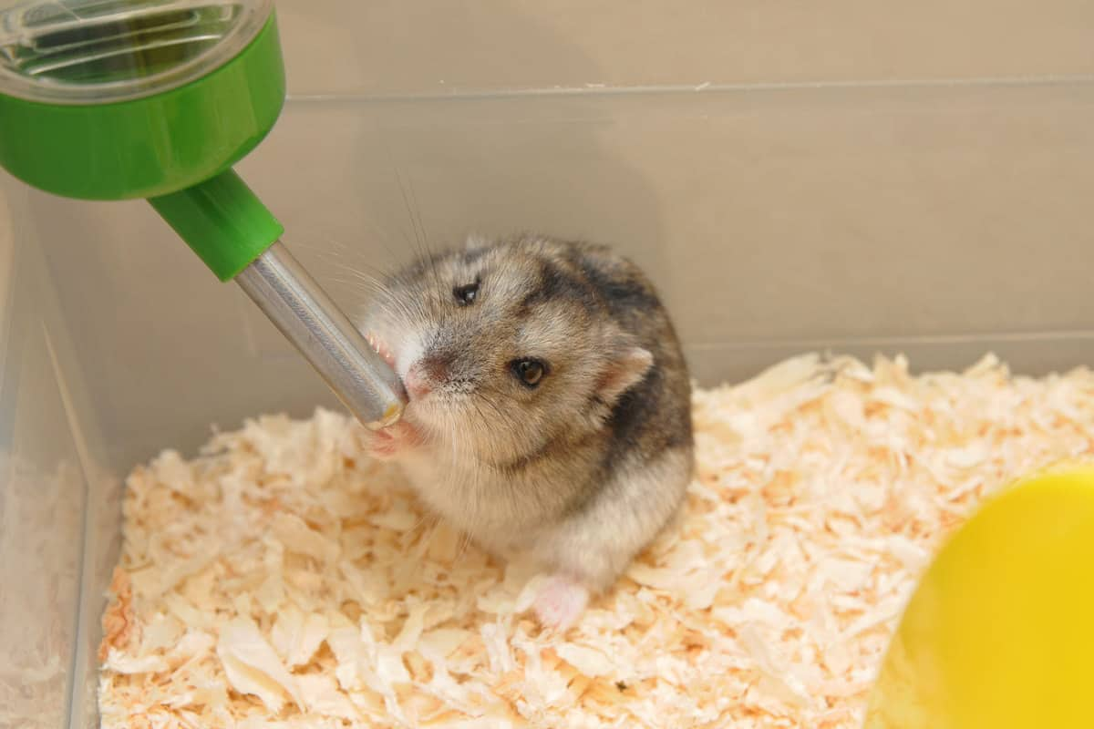 A hamster drinking water inside his cage
