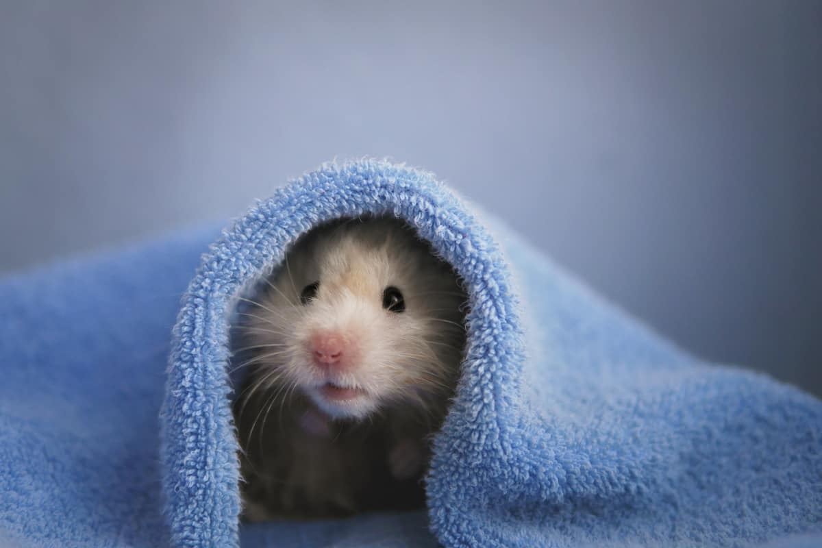 A hamster getting warmed up in a blue blanket because its winter time