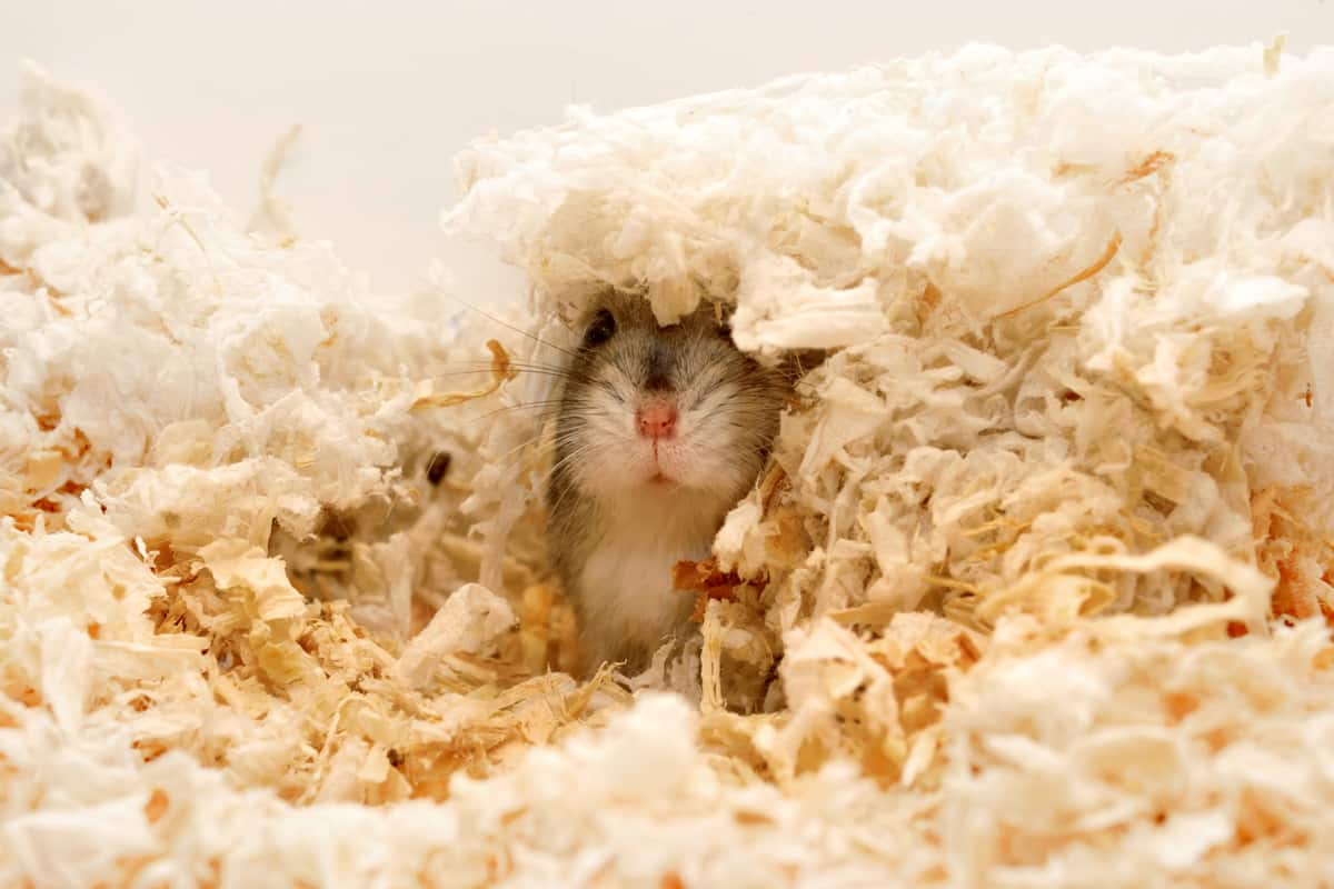 A hamster getting warmed up in a patch of sandered wood