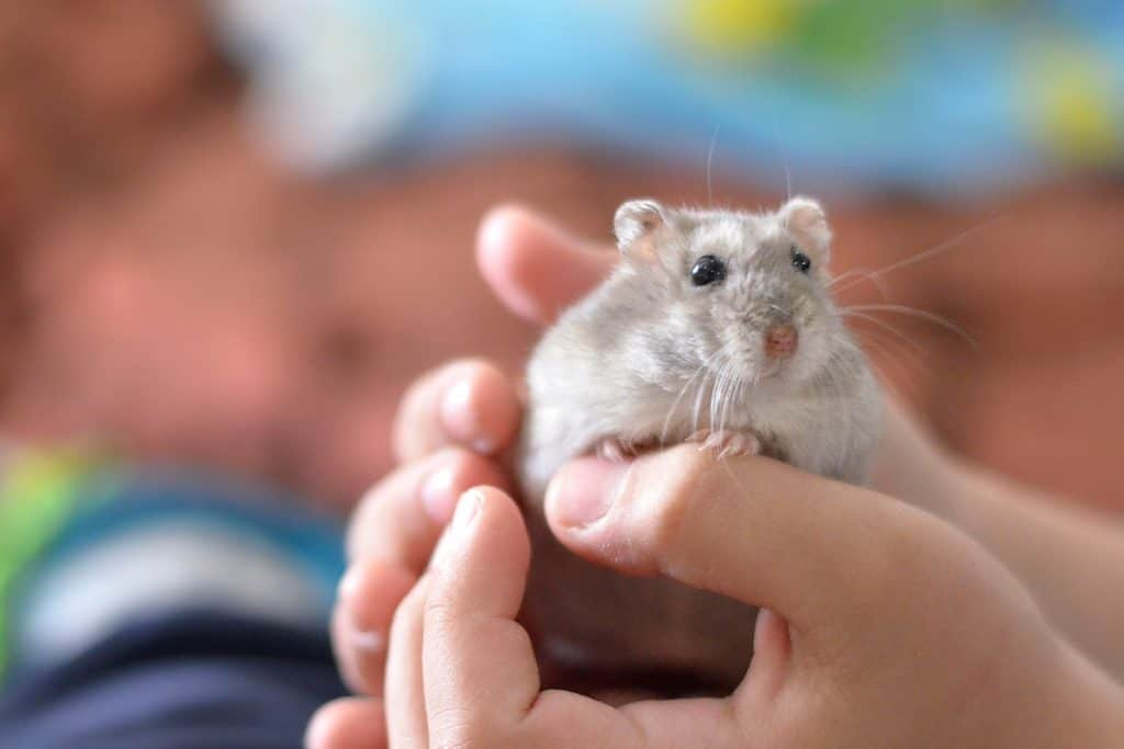A kid holding a gray hamster on his hand