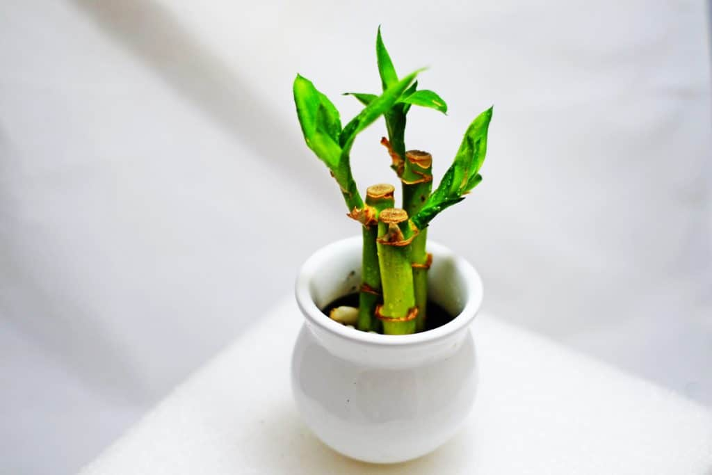 A lucky bamboo plant on a white pot for decorative purpose placed on a white table