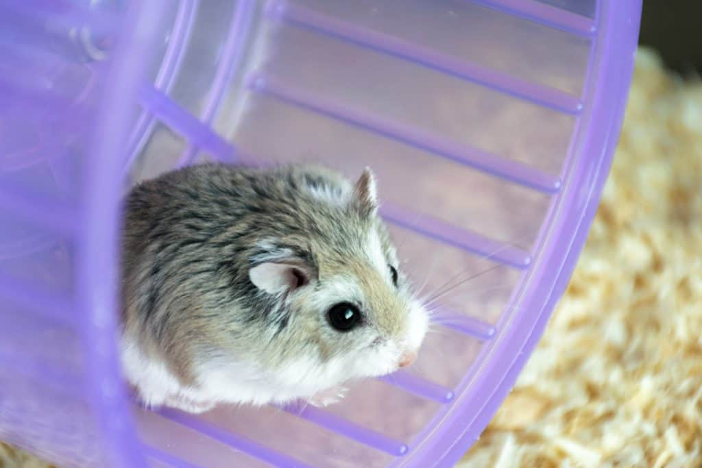 A small gray Roborovski hamster sitting on his purple exercising wheel