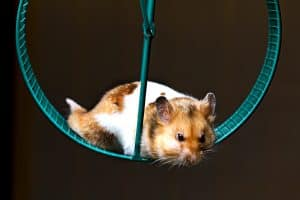 A small hamster laying on his exercising wheel, Are Hamsters Color Blind?