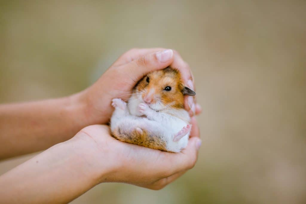 A small hamster tucking nicely on his owners hands
